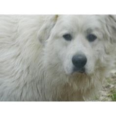 GREAT PRYNESS DOG PHOTO   Great Pyrenees Puppies For Sale/Adoption In Berea, Kentucky (ID: 35205 ... Pyrenees Puppies, Great Pyrenees Puppy, Berea Kentucky, Dog Photos, Puppies For Sale, Polar Bear, Best Dogs, Adoption, Polish