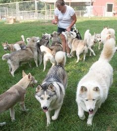 I want to have this many huskies someday!