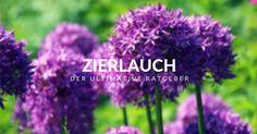 Zierlauch - Der ultimative Ratgeber