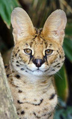 """""""Go ahead, tell me; I'm all ears."""" African Serval Cat // via M Tiller"""