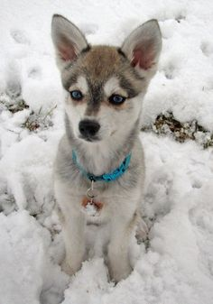 Alaskan klee kai dog photo | Zephyr the Alaskan Klee Kai | Puppies | Daily Puppy