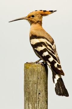 The Hoopoe (Upupa epops) is a colourful bird, and is widespread in Europe, Asia, and North Africa, Sub-Saharan Africa and Madagascar.