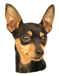 "Fantastic ""miniature pinscher puppies"" info is available on our internet site. Check it out and you wont be sorry you did. Mini Pinscher, Miniature Pinscher, Min Pin Dogs, Blue Doberman, Cheap Pets, Chihuahua Love, Dog Care, Wallpaper, Dog Breeds"