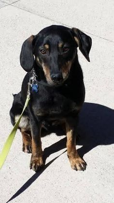 Meet Merlin, a Petfinder adoptable Labrador Retriever Dog   Oakville, ON   Merlin is a super sweet, super cute lab x hound who is just shy of a year old. This adorable boy...