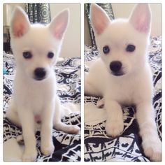 White Alaskan Klee Kai. Who wants to buy me this dog