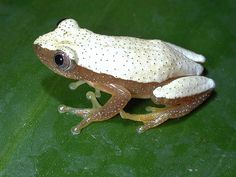 Afrixalus fornasini, Female (no stripe morph), Amani NR, Apri by Vonesh-Balcomb, via Flickr