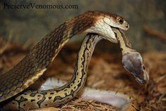 King Cobra ~ Ophiophagus hannah. Eating a Ball Python