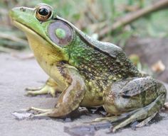 green frogs - Google Search