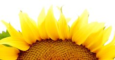 A California Sunflower by beers & beans