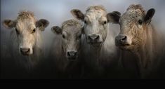 Bovine by Jojo Filer Cooper Farm Animals, Animals And Pets, Cute Animals, Cow Pictures, Animal Pictures, Photo Animaliere, Farm Art, Cow Painting, Cow Art