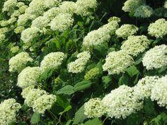 Hydrangea arborescens 'Annabelle' snoeien