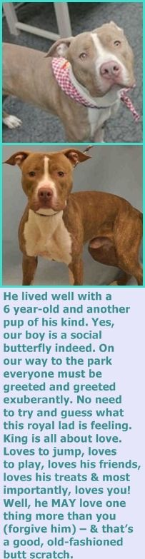 MURDERED 6/26/16 Manhattan Center KING – A1072211 ***SAFER : AVERAGE HOME*** NEUTERED MALE, Y BRINDLE / WHITE, AM PIT BULL TER MIX, 1 yr OWNER SUR – EVALUATE, NO HOLD Reason TOO ACTIVE Intake condition UNSPECIFIE Intake Date 05/02/2016 http://nycdogs.urgentpodr.org/king-a1072211/
