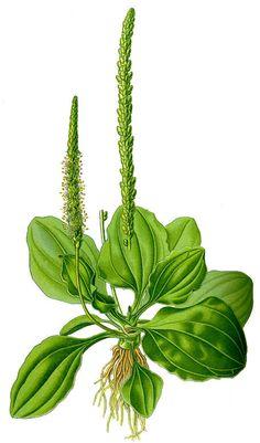 Groblad (Plantago major)