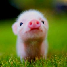PRECIOUS! I want a teacup piglet!