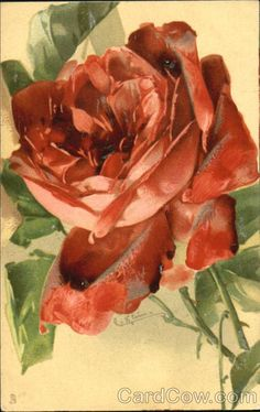 A Beautiful Red Rose C. Klein