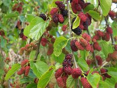 10 Under-Used Trees and Shrubs For the Fruitful Edible Yard: yes! we have all of these growing in our PNW garden!