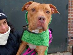 TO BE DESTROYED - 03/16/15 Manhattan Center -P  My name is PEBLES. My Animal ID # is A1029215. I am a female brown and white am pit bull ter mix. The shelter thinks I am about 2 YEARS   I came in the shelter as a OWNER SUR on 03/02/2015 from NY 10467, owner surrender reason stated was PERS PROB. https://www.facebook.com/photo.php?fbid=971508272862052