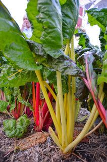 Chard is a cool-weather (spring and fall) crop that can be harvested in 60 days from sowing.