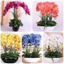 30 Sementes Kit Orquídea Butherfly + 20 Rosas Flores Bonsai