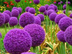 Découvrez l'Allium giganteum, une plante vivace bulbeuse à la floraison spectaculaire : http://www.alsagarden.com/boutique-219443_allium-giganteum-globemaster-5-graines.html