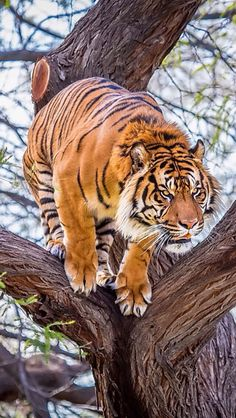 T-T-T-TIGERS TIME!!!The tiger (Panthera tigris) is the largest cat species, reaching a total body length of up to 3.38 m (11.1 ft) over curves and weighing up to 388.7 kg (857 lb) in the wild. Its most recognisable feature is a pattern of dark vertical stripes on reddish-orange fur with a lighter underside. The species is classified in the genus Panthera with the lion, leopard, jaguar and snow leopard. Tigers are apex predators, primarily preying on ungulates such as deer and bovids. They…