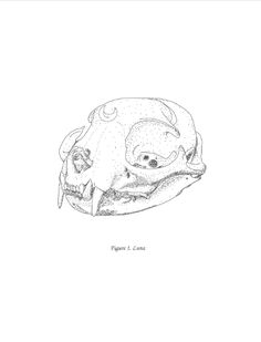 Figure Luna, a scientific illustration from Virtual to Vintage. Animal Skull Drawing, Animal Skulls, Cat Skull, Skull Illustration, Illustrations Posters, Vintage Illustrations, Sailor Scouts, Cat Tattoo, Drawing Reference