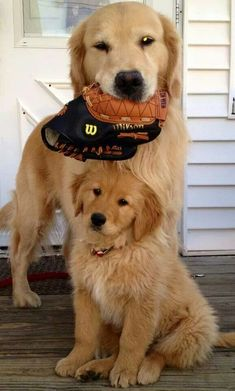 Son, it's time to play ball... #goldenretrievers #dogs For more cute puppy pics visit www.prettyfluffy.com