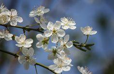 White Blossom Bokeh  | #flowers #blue #white #ivory