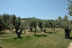 Olive tree grounds of the Estate Olive Tree, Acre, Natural Beauty, Greece, Island, Traditional, Landscape, Plants, Greece Country