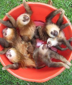 A bucket of sloths http://ift.tt/2hvb3RH
