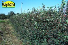 Amelanchier spicata, Isotuomipihlaja. Kapeakasvuinen, syötävät marjat, hieno syysväri. Komea myös vapaasti kasvava. Korkeus: 2-4 m.