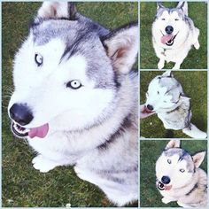 It would be really, really appreciated if you could please keep an eye out for my Siberian Husky, called Elfa, who went missing in Fineshade Woods, near Corby, Northamptonshire (NN17 3BA) a little earlier (24/10/16). She is white/grey in colour and around 3 years old. She has very intense blue eyes and she is wearingRead More