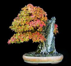 The Most Beautiful And Unique Bonsai Trees In The World-homesthetics (9)