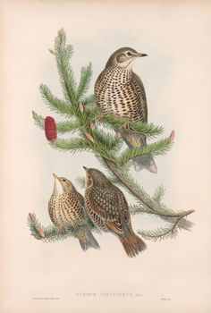 Turdus Viscivorus - Missel Thrush from John Gould Lithographs of Swallows, Swifts, Kingfisher, Goldfinch, Robin & Roller The Decemberists, John Gould, Goldfinch, Zoology, New York Public Library, Kingfisher, Fauna, Bird Prints, Animales