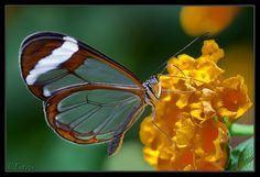 Glasswing Butterfly, pretty cool.