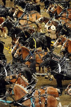 The arena at the Ricoh Coliseum was a sea of horses as the competitors in the six-horse hitch championship for Percherons, Belgians and Clydesdales stood waiting for the results Big Horses, Work Horses, Horse Love, Show Horses, Race Horses, All The Pretty Horses, Beautiful Horses, Animals Beautiful, Clydesdale Horses