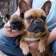 Miniature Bulldog Puppies For Sale Bulldog Puppies Bulldog