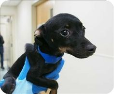 #OREGON ~ Pudding is a Miniature Pinscher #puppy -  I'm sweet & cuddly what more could you want? I'm in need of a loving home where I can stay forever. My family will need to understand the dedication it takes to raise me & not give me up when I make mistakes! Do you have the love & patience I need? aaawe, hope to meet you soon <3 I'm at the OREGON HUMANE SOCIETY 1067 NE Columbia Blvd #Portland OR 97211 adopt@oregonhumane.org Ph 503-285-7722