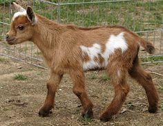 Pygmy goat...I adore them...co cute