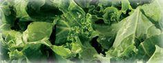 Kale - How to grow http://extension.usu.edu/boxelder/files/uploads/Vegetable%20Gardens/KALE0505.pdf