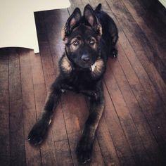 Wicked Training Your German Shepherd Dog Ideas. Mind Blowing Training Your German Shepherd Dog Ideas. Positive Dog Training, Basic Dog Training, Training Your Puppy, Training Dogs, Pet Dogs, Dog Cat, Pets, Doggies, Weiner Dogs