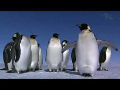 LIFE    AT    THE     NORTH      POLE Penguins, North Pole, Animals, Gifs, Animales, Animaux, Arctic, Animal Memes, Animal
