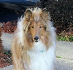 Beautiful Rough Collie - love this mane