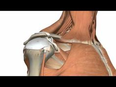 Shoulder pain is a very common complaint responsible for millions of doctor visits each year. Shoulder pain can result from literally hundreds of causes. Shoulder Surgery, Shoulder Joint, Shoulder Muscles, 3d Anatomy, Muscle Anatomy, Human Anatomy, Shoulder Anatomy, Muscle Diagram, Musculoskeletal System