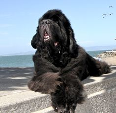 Big Dogs, I Love Dogs, Cute Dogs, Dogs And Puppies, Doggies, Mans Best Friend, Best Friends, Natural Dog Food, Gentle Giant