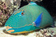 Parrotfish - Fishes World - HD Images & Free Photos