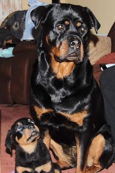 Rottweiler pup looking up to Dad