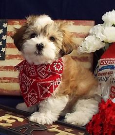 AKC Havanese puppies, Top Lines- Health-Well socialized  Non Shedding!