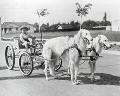 Vintage Photo of a pair of white Borzoi hitched to a cart