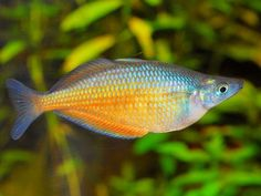 A website dedicated to Rainbowfishes of Australia and New Guinea Tropical Freshwater Fish, Tropical Fish Aquarium, Freshwater Aquarium Fish, Goby Fish, Fishing World, Rainbow Fish, Lovely Creatures, Water Life, Beautiful Fish